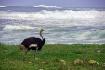 Ostrich of Good H...