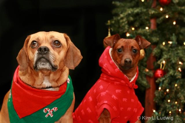 Christmas Pups - ID: 7591590 © Kim L. Ludwig