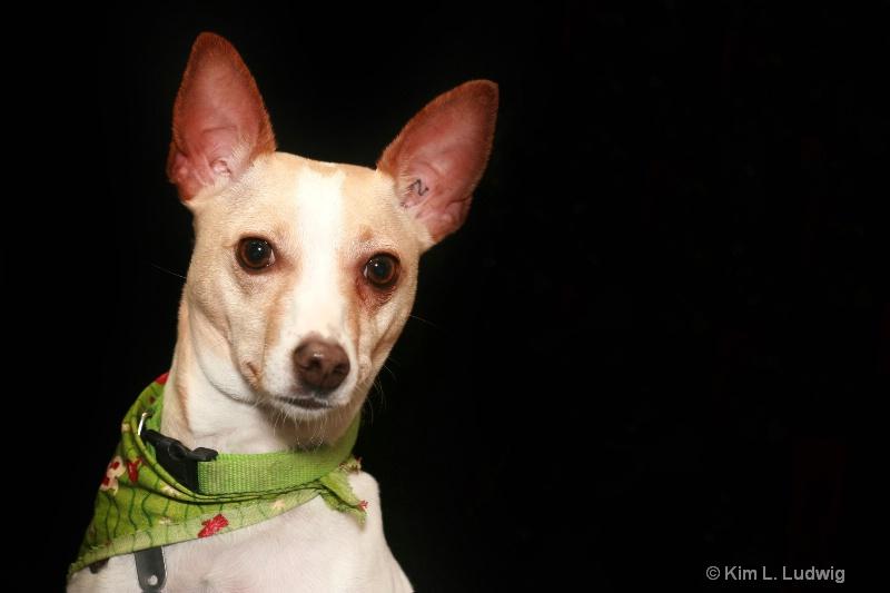 Christmas Pup - ID: 7606468 © Kim L. Ludwig