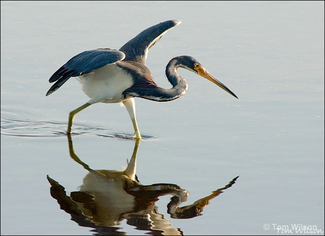 Tricolored Heron Hunting - ID: 7607621 © Thomas R. Wilson