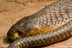 egyptian-cobra