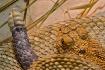aruba-rattlesnake