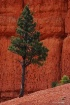 pine tree in red ...