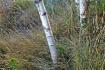 September Birch