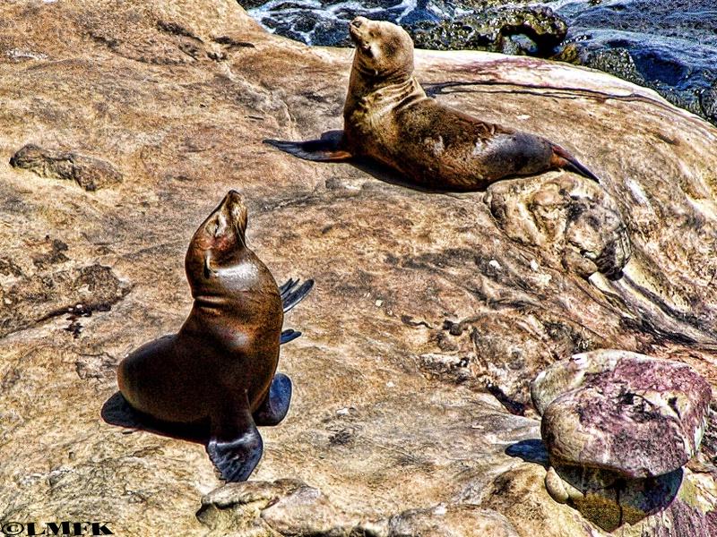 sea lion siesta