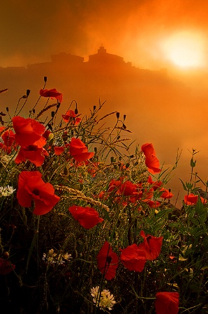 Poppy Morning