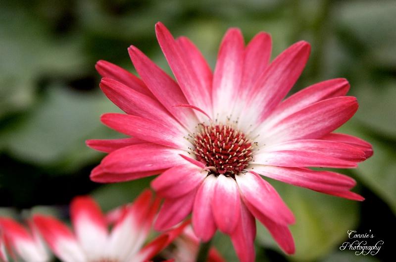 A little pink Gerbera Daisy