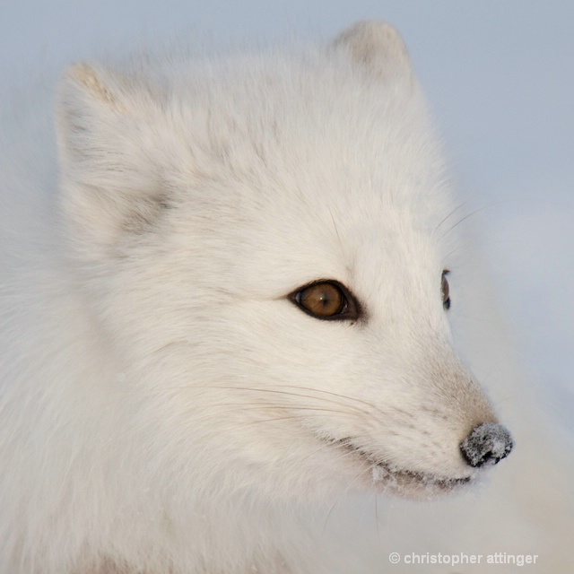 DSC_9176 - arctic fox head - ID: 7672050 © Chris Attinger