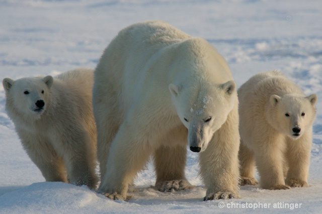 DSC_9238 - mom & 2 cubs (frontal) - ID: 7672052 © Chris Attinger