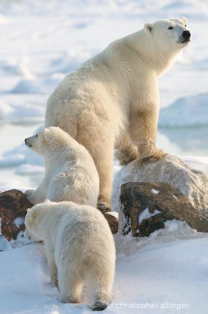 DSC_9290 - mom & cubs on ridge - ID: 7672060 © Chris Attinger