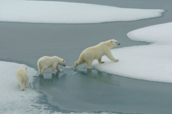 DSC_3051 - mother and cubs on sea ice - ID: 7672365 © Chris Attinger
