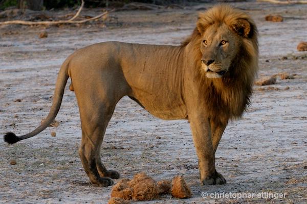 BOA_0075 - male lion standing - ID: 7672499 © Chris Attinger
