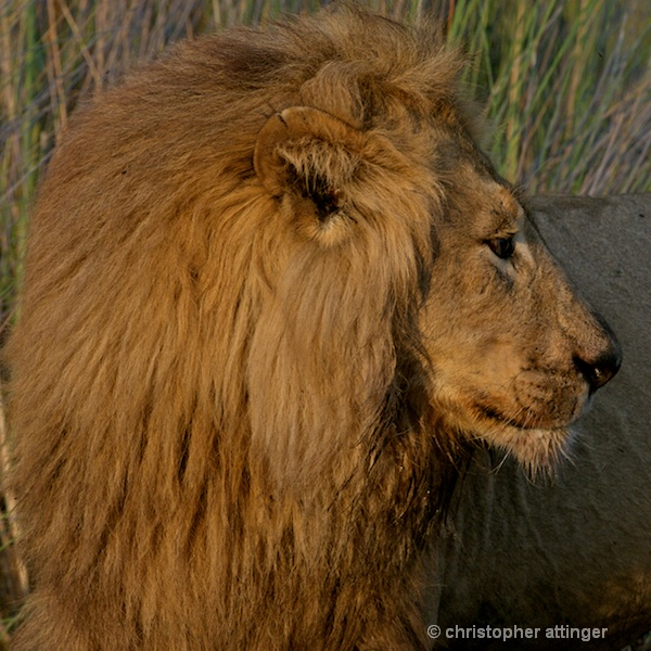 BOB_0007 - lion male head side view - ID: 7672502 © Chris Attinger