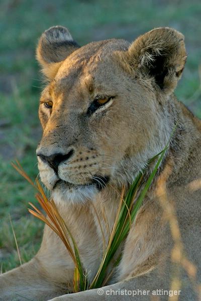 BOB_0070 - lioness head in grass - ID: 7672503 © Chris Attinger