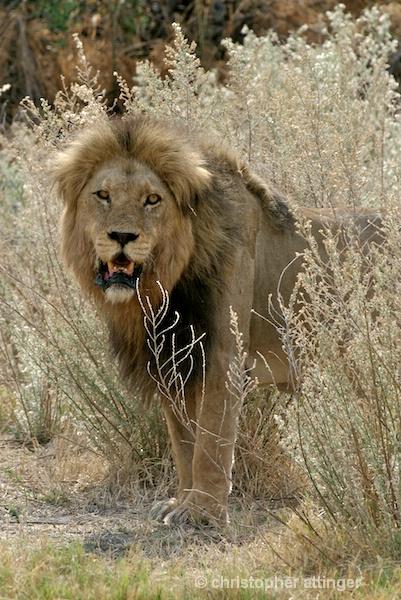 BOB_0084 - lion in tall grass - ID: 7672504 © Chris Attinger