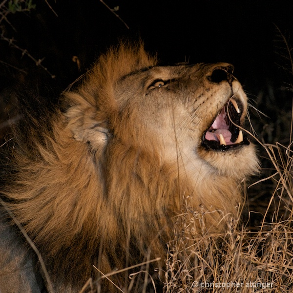 DSC_1986 - lion roaring at night - ID: 7672512 © Chris Attinger