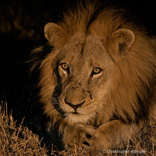 DSC_3234 - lion resting head at night - ID: 7672519 © Chris Attinger