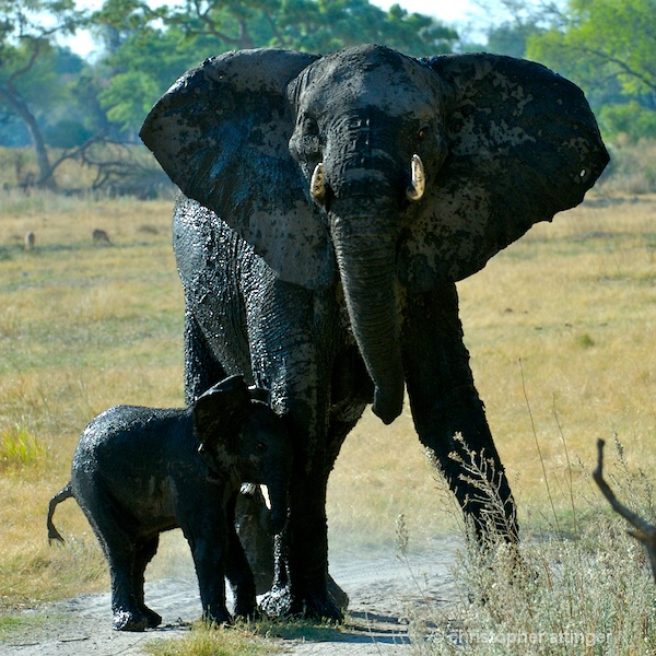 BOA_0291 - mother & elephant calf - ID: 7672777 © Chris Attinger