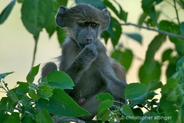 BOB_0012 - baboon baby - ID: 7672778 © Chris Attinger