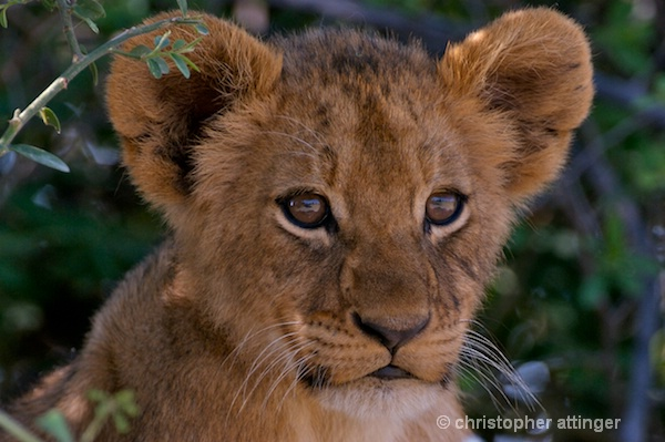 BOB_0064 - lion cub head - ID: 7672780 © Chris Attinger
