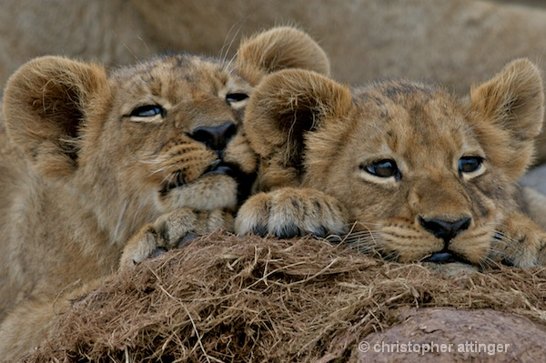 BOB_0075 - 2 lion cubs on elephant dung - ID: 7672783 © Chris Attinger