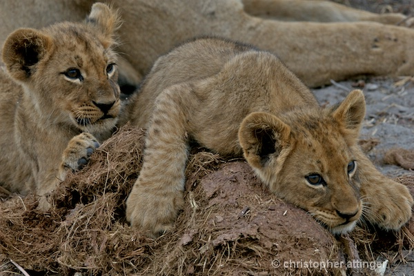 BOB_0078 - 2 lion cubs on elephant dung - ID: 7672786 © Chris Attinger