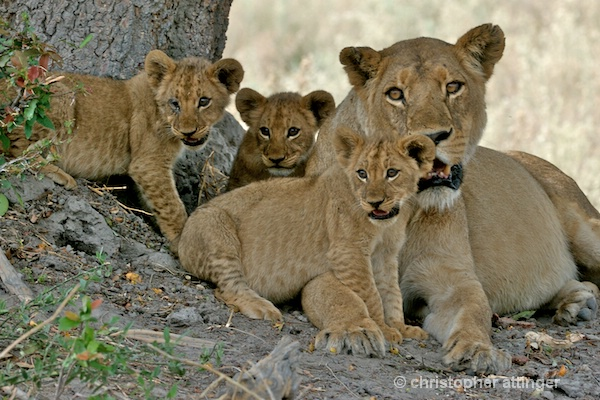 BOB_0088 - lion mother and 3 cubs - ID: 7672789 © Chris Attinger