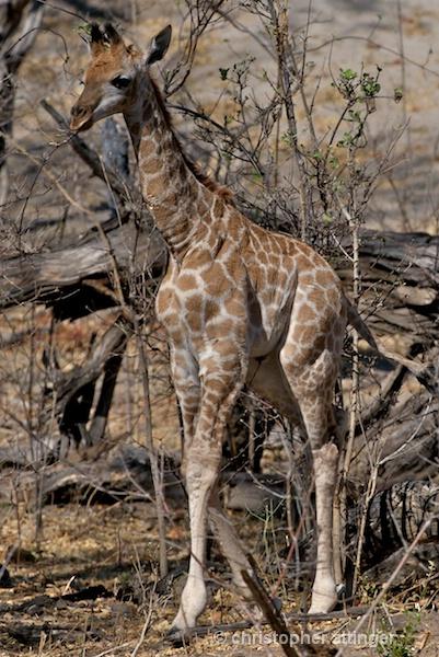 BOB_0118 - baby giraffe calf - ID: 7672792 © Chris Attinger