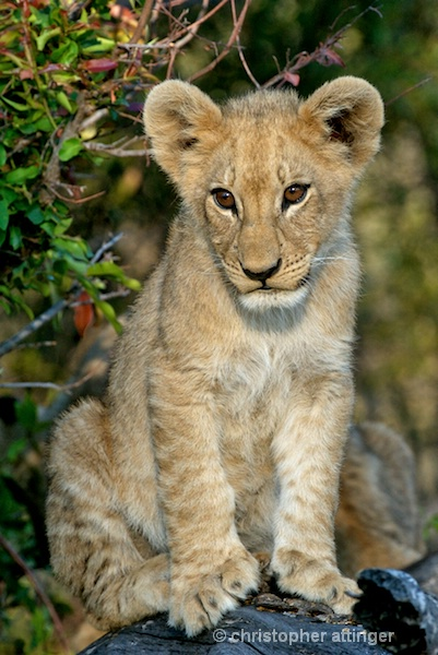 BOB_0146- baby lion - ID: 7672793 © Chris Attinger