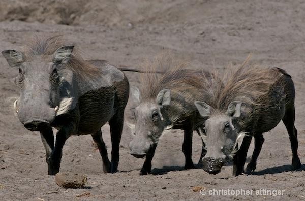 BOB_0177 - warthog and 2 piglets - ID: 7672794 © Chris Attinger