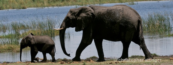 BOB_0236 - Elephant mother and calf - ID: 7672795 © Chris Attinger