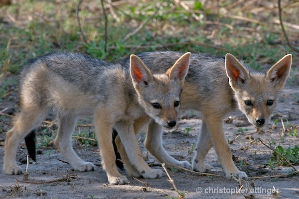 BOB_0242 - Black backed jackal pups - ID: 7672798 © Chris Attinger