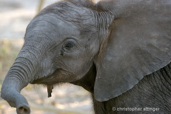 BOB_0352 - elephant calf - ID: 7672799 © Chris Attinger