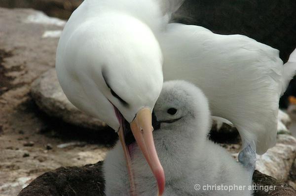 black browed albatross  mom & chick - ID: 7672800 © Chris Attinger