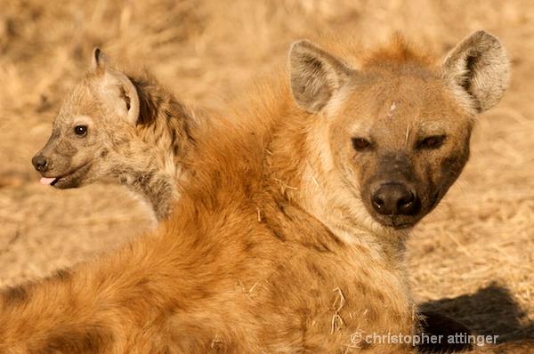 DSC_3273 - baby hyena & mom - ID: 7672806 © Chris Attinger
