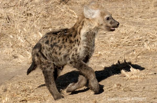 DSC_3402 - baby hyena - ID: 7672808 © Chris Attinger