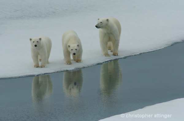 DSC_3022 -polar bear and cubs - ID: 7672811 © Chris Attinger