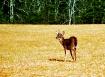 Deer at Cades Cov...