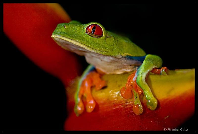 tree frog - ID: 7683039 © Annie Katz