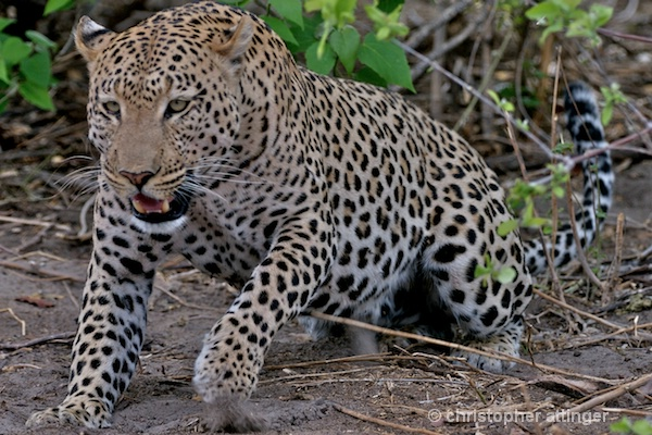 BOA_0057 - male leopard charging - ID: 7683367 © Chris Attinger