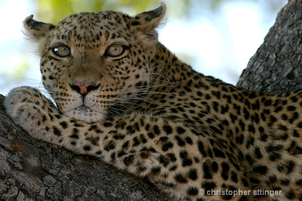 BOB_0251 - leopard lying on tree branch - ID: 7683370 © Chris Attinger