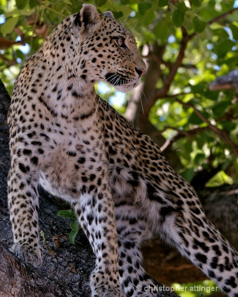 BOB_0266 - leopard standing in tree - ID: 7683371 © Chris Attinger
