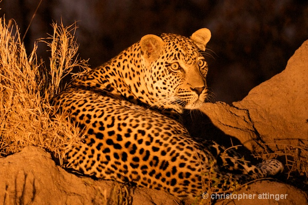 DSC_4481 - male leopard on termite mound at night - ID: 7683374 © Chris Attinger