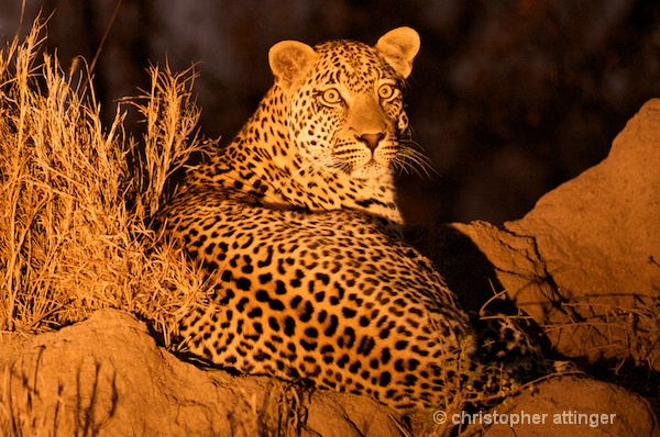 DSC_4482 - male leopard on termite mound at night - ID: 7683375 © Chris Attinger