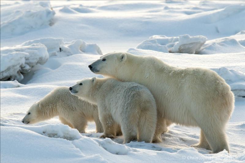 DSC_9326 - Mother &  cubs - ID: 7683422 © Chris Attinger