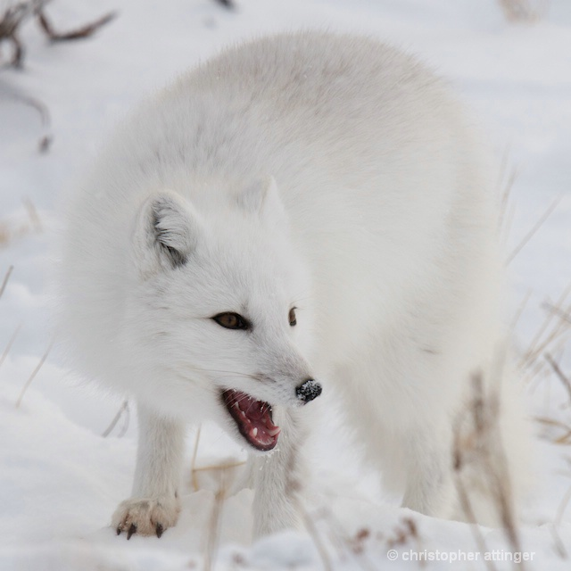 DSC_8378 - arctic fox with open mouth - ID: 7683423 © Chris Attinger