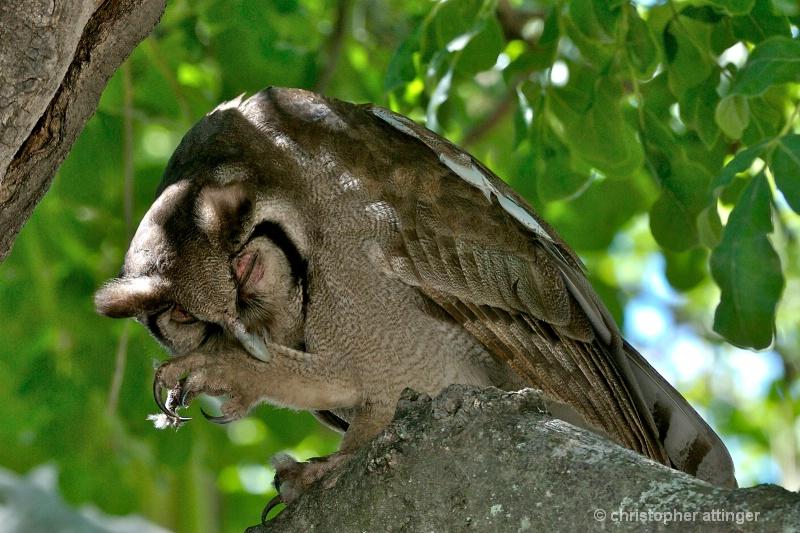 BOB_0041 - Verraux eagle owl pruning - ID: 7683426 © Chris Attinger