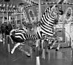 Zebra Frozen n Ti...