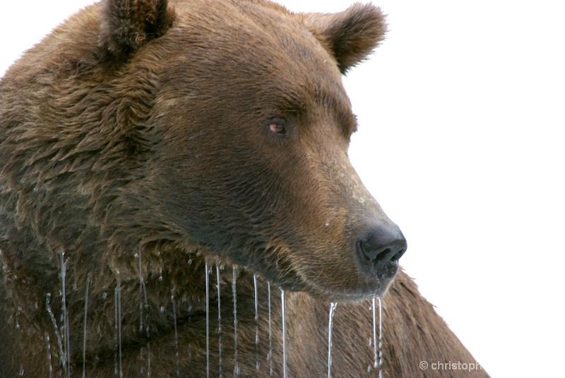 DSC_ 0125 - Male brown bear head waterfall - ID: 7683741 © Chris Attinger