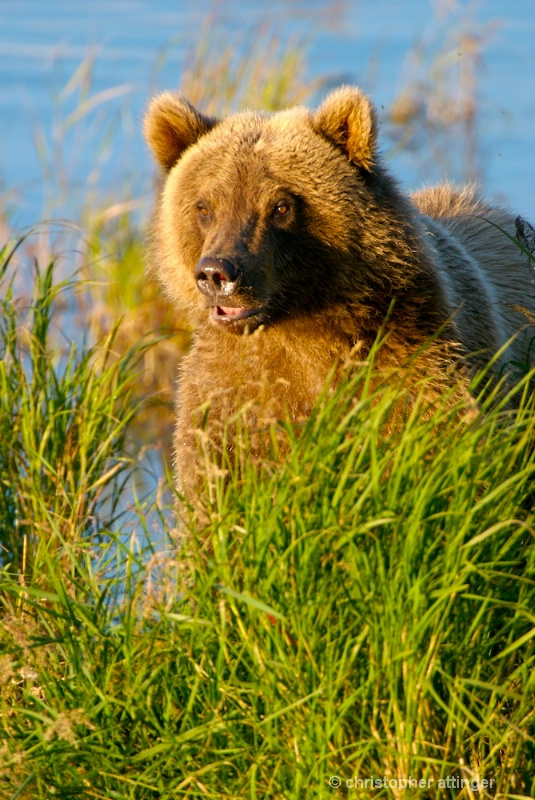 DSC_ 0185 - Male 2 yr. old cub in sun - ID: 7683744 © Chris Attinger